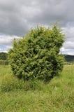 Juniper Bush. Juniper - Juniperus communis Royalty Free Stock Photos