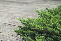 Juniper bush on the background. Stock Photography