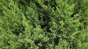 Background of juniper branches growing in the park. Pan shot. stock footage