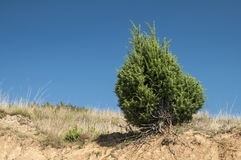 Juniper bush on dry sandy soil Royalty Free Stock Photo