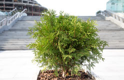 Juniper bush (Juníperus) grows outside concrete staircase in th Stock Images
