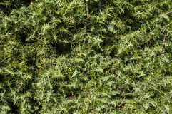 Juniper bush leaves Stock Photography