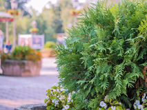 Juniper bush in the street Stock Photography
