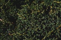 Juniper bush texture