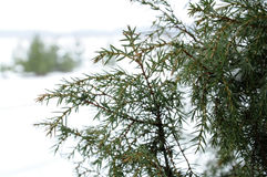 Juniper bush Royalty Free Stock Photo