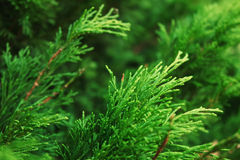 Juniper bushes Stock Images