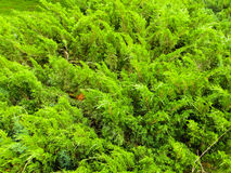 Juniper bushes in a park Royalty Free Stock Image
