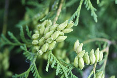 Juniper close-up. Natural background Stock Photo