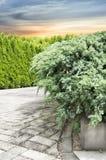 Juniper conifers in garden Stock Image