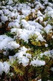 Juniper branches covered with white snow in Japan stock photos