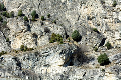 Juniper cuddly. Rare specimens of Juniper cuddly Foresto - Oasis xerothermic Susa Valley - Italy Royalty Free Stock Image