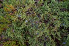 Juniper with dark blue berries Stock Photography