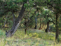 Juniper on declivity the mountain. Royalty Free Stock Photo