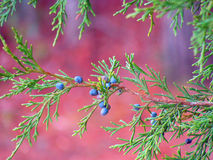 Juniper. Eastern Red Cedar (Juniper) with blue berries on the pink background Stock Images