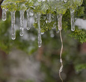 Juniper-Flavored Icicles Stock Photography
