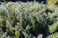 Juniper in the frost. Early sunny morning.  stock photos