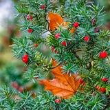 Juniper fruits Stock Photos