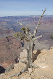 Juniper and Grand Canyon Royalty Free Stock Image