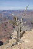 Juniper and Grand Canyon Royalty Free Stock Image