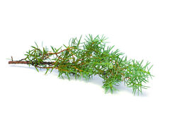 Juniper Green Branch Stock Photography