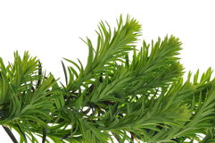 Juniper green branch Royalty Free Stock Photo