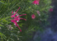 Juniper grevillea with pink flowers. Stock Photos