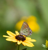 Juniper Hairstreak Butterfly Royalty Free Stock Images
