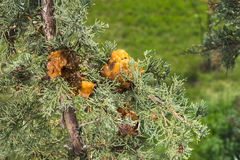 Juniper Hawthorn rust Royalty Free Stock Photography