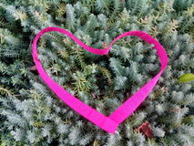 Juniper heart. Pink heart on the juniper Stock Images