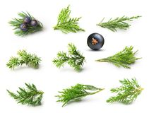 Juniper isolated stock images