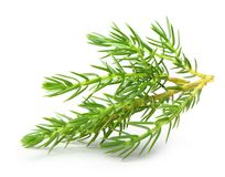 Juniper isolated Stock Photography