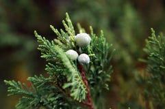 Juniper (Juníperus occidentális). Juniper (Juníperus occidentális) with berries stock image