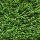 Juniper (Juniperus). Bright green background of thick juniper Royalty Free Stock Photos