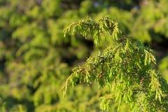 juniper Juniperus communis Os ramos de um close up do zimbro imagem de stock royalty free