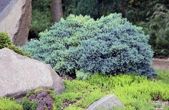 Free Juniper, Juniperus Squamata, Blue-green Cultivar. Royalty Free Stock Images - 161361699
