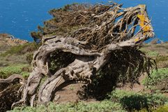 Juniper Juniperus turbinata canariensis twisted by the wind. La Dehesa. Frontera Rural Park. El Hierro. Canary Islands. Spain royalty free stock images