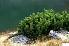 Juniper and lake. Green juniper and lake background Stock Photos