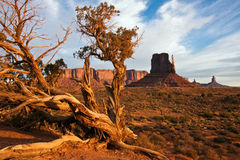 Juniper in Monument Valley. Juniper tree on an early morning in Monument Valley, Utah Royalty Free Stock Photography