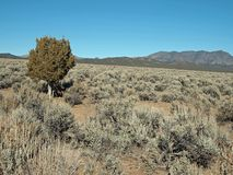 Juniper with Mountain Stock Image