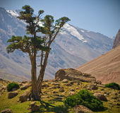 Juniper and mountains royalty free stock photography