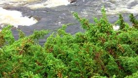 Juniper over the river stock video