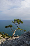 Juniper over the sea Royalty Free Stock Image