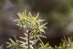 Juniper. Plant,  bokeh in nature Royalty Free Stock Images