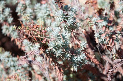 Juniper plant, details. Juniper plant growing in mountains, typical south european macchia vegetation in summer royalty free stock photos