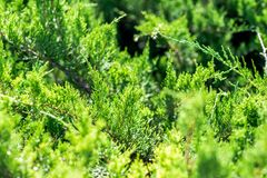 Juniper plant in summer. Colorful close up shot stock photography