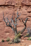 Juniper  With Red Rock Stock Photography