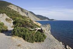 Juniper on the sea beach. Township Utrish near Anapa, Krasnodar region, south Russia Royalty Free Stock Photo