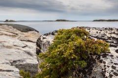Juniper on seacoast Royalty Free Stock Photos