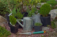 Juniper seedlings. In pots ready for planting Royalty Free Stock Photos