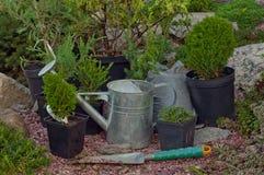 Juniper seedlings Royalty Free Stock Photos